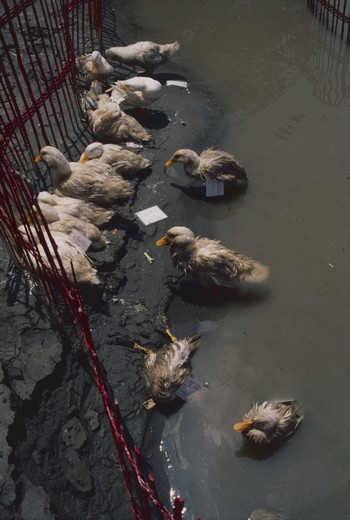 When Will Jin River Have Fish and Shrimp - Calling of Ducks
