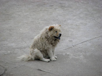 Tibetan Dog: one of many on the premises at Wen Pulin's home
