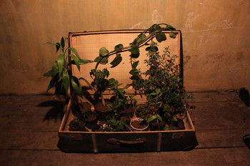 Traveling Plants, 2011, wild plants and suitcase