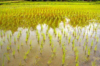 Rice field at The Land.