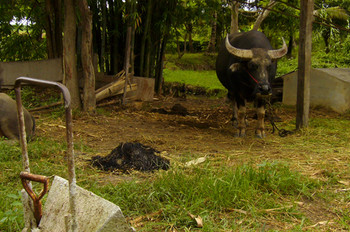 Two water buffalos live and work in the rice field at The Land.