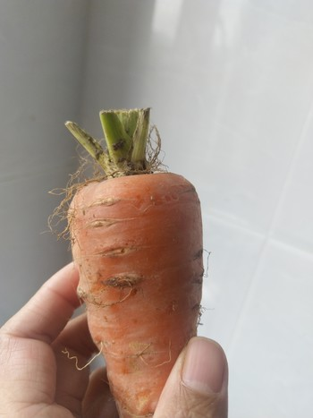 Image: It's possible to grow the top of vegetables such as carrots in water. Place it on a sunlit windowsill, change the water every day, and it will begin to sprout soon. The edible sprouts can be transformed into a salad ingredient or a decorative indoor plant.
